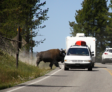 Bison on the route with the cars,Yellowstone national park photo