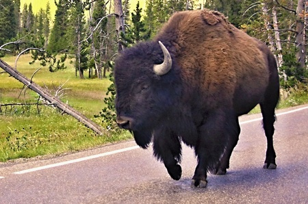 yellowstone: Wild bison