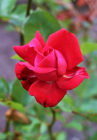 Beautiful Red rose in the garden Stock Photo