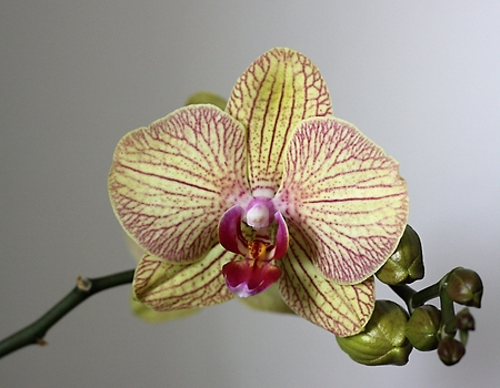 orchidea: Orchidea blossom and flower-bud