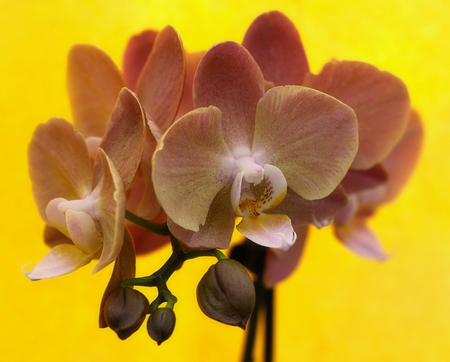 Detail of  rose orchid - phalaenopsis