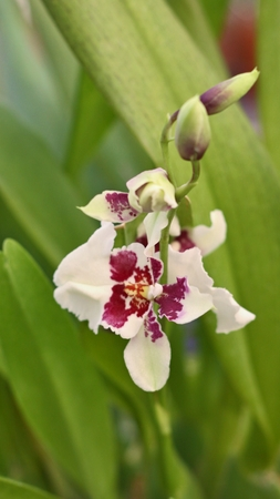 Detail of beautiful whitte-purple orchid