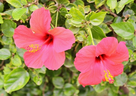 Red Hibiscus flowers and green leaves