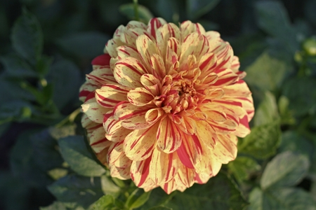 Redand yellow Dahlia flower with green leaves Stock Photo