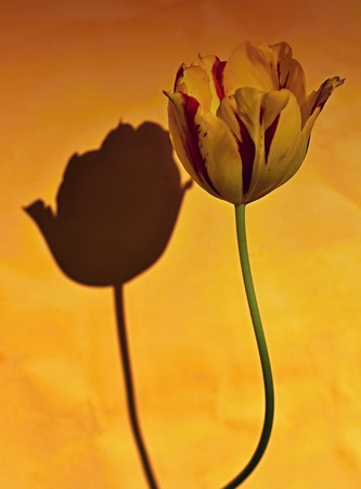Tulip with shadow and yellow and orange background  Stock Photo