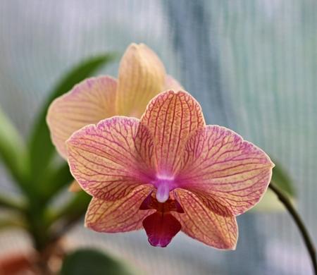 Detail of beautiful rose orchid - phalaenopsis  Stock Photo