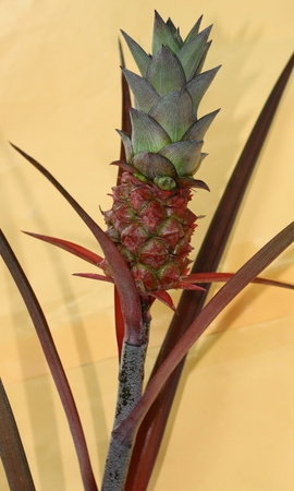 Baby pineapple with leaves on yellow background