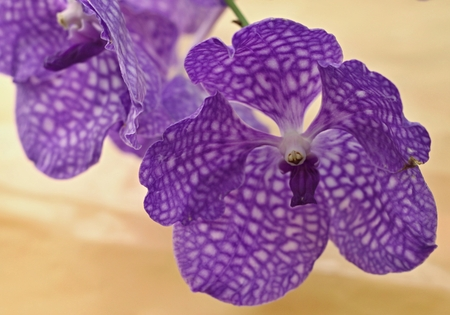 Beautiful and big flower of violet orchidea