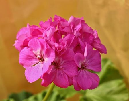 pelargonium: pink geranium - pelargonium