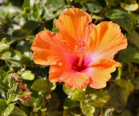 Orange Hibiscus flower and green leaves Stock Photo