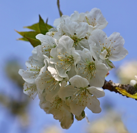 White  flowers of the cherry blossoms on a spring