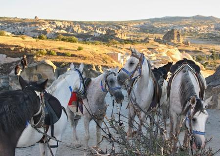 Horses in Capapdocia, Turkey