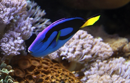 blue tang fish: Coral reef fish, blue tang and corals in the background