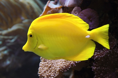 Yellow Tang fish (Zebrasoma flavescens) and corals on background