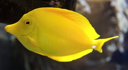 yellow tang: Yellow Tang fish (Zebrasoma flavescens) and corals on background