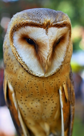 fence post: Portrait of Barn Owl rests on a fence post