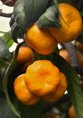 Ripe tangerines on a tree and green leaves