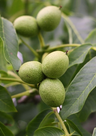 immature: Immature Green walnuts on the tree with leaves