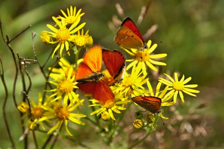 Many red butterflies on yellow flowers and green background. Yellow flowers Ragwort with red butterfly Scarce Copper Stock Photo