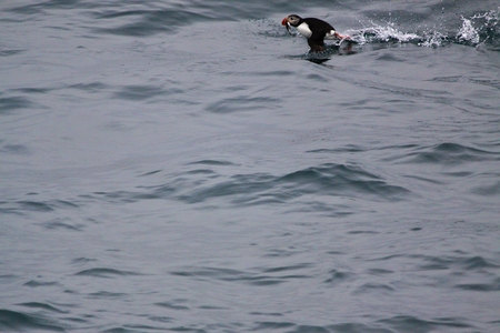 Puffin get airborne with catch fish,Iceland