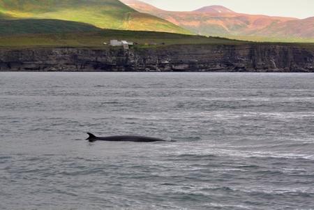 The orca in the ocean near Icelands coast