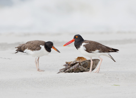 two oyster catchers on beach