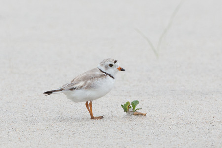 plover: Baby piping plover on beach Stock Photo