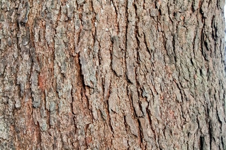 tree bark of pine tree Stock Photo