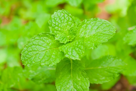 fresh mint on brown background II photo