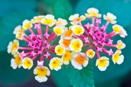 pink and yellow lantana are bloom food supply of insects