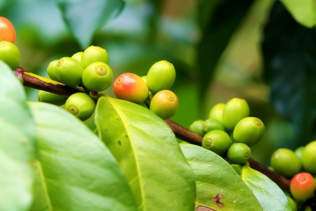 raw green coffee beans are beginning to turn red on the coffee trees Stock Photo