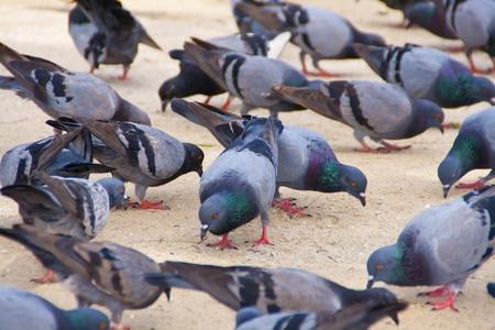pigeons: Groupe de pigeons de marche sur les parcs publics Banque d'images