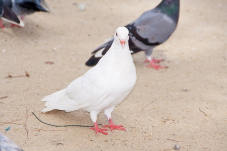 group of pigeons walk on public parks Stock Photo