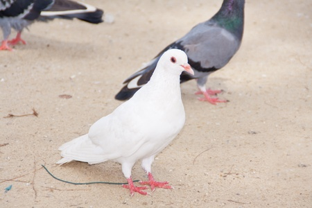 grupo de palomas caminar en los parques públicos Foto de archivo - 10625412