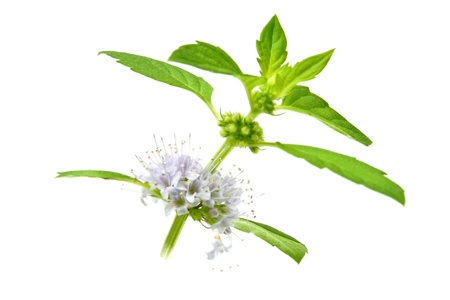 aromatic: Green mint leaves and flowers isolated on white background