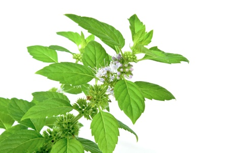 Green mint leaves and flowers isolated on white background photo