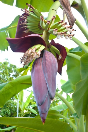 Banana blossom and flowers on banana tree