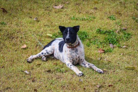 doggy position: Thai dogs black and white polka dots Stock Photo