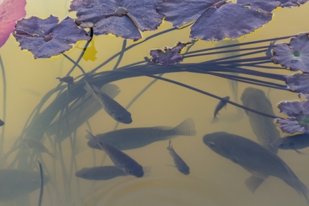 Fish swim under the lotus grove photo