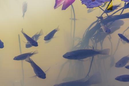 deportment: Fish swim under the lotus grove