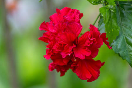 A red hibiscus flower on green background photo