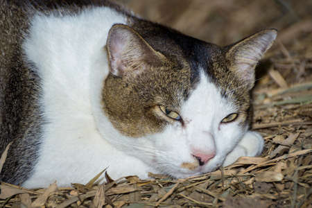 drowsiness: Thai Cat in a drowsiness Stock Photo
