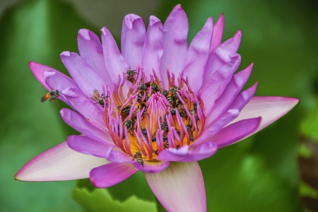 Bees in the purple lotus Stock Photo