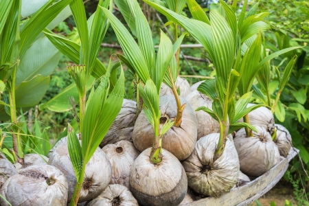 coconut seedlings: Sprout of coconut tree pop out of the coconut Stock Photo