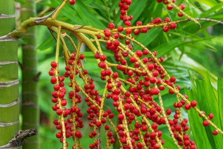 Red betel nuts on a palm tree Stock Photo - 17688019