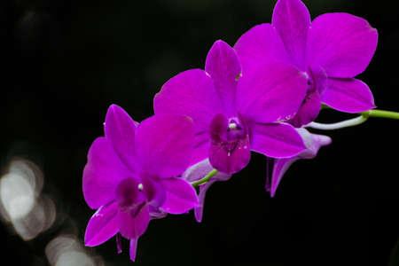 Purple orchid flower on black background
