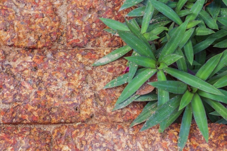 oyster plant: The red brick and Oyster plant background Stock Photo