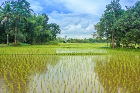 Rice field in countryside of Thailand