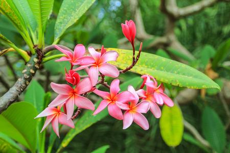 champa flower: Pink Frangipani