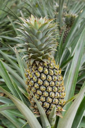 Pineapple Plant Field In Rubber Garden Photo